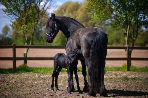 paardentrailers